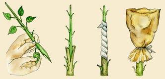 ` S del árbol hendido injertando métodos ilustración del vector