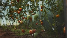 ` S del tomate en vides del tomate imágenes de archivo libres de regalías