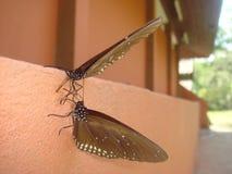 ` S della farfalla in Asia Immagini Stock Libere da Diritti