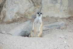 ` S di Meerkat che va via dal suo foro Fotografia Stock