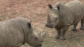 S?dliches wei?es Nashorn Ceratotherium simum simum Kritisch gef?hrdete Tierarten stock video footage