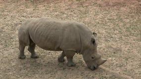 S?dliches wei?es Nashorn Ceratotherium simum simum Tier der wild lebenden Tiere Kritisch gef?hrdete Tierarten stock video