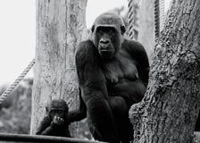 ` S do gorila de planície ocidental da mãe e do bebê que levanta para a câmera imagens de stock