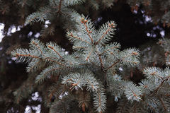 S'embranche l'arbre de sapin Photo stock