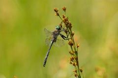 ` S Emerald Dargonfly de Hine Photographie stock