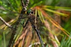 ` S Emerald Dargonfly de Hine Foto de Stock