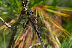 ` S Emerald Dargonfly de Hine Photo stock