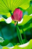 S'est penché chacun du lotus Photographie stock