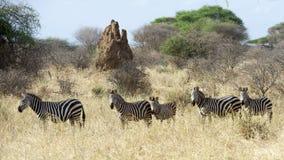 ` S för fem sebra med termitkullen i bakgrund Arkivbilder