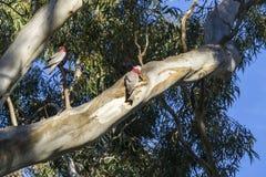 ` S för två galah i ett träd Arkivfoto