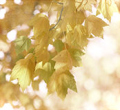 It's Fall. Fall leaves hanging on the branch with great bokeh behind them Royalty Free Stock Photos