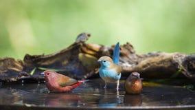 ` S Firefinch и сине--breasted Cordonbleu Jameson в Mapungubwe n стоковое фото rf