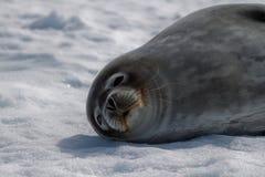 s foki weddell Fotografia Royalty Free