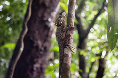 ` S Forest Dragon Lizard de Boyd, desfiladeiro de Mossman, Queensland, Australi Imagem de Stock Royalty Free