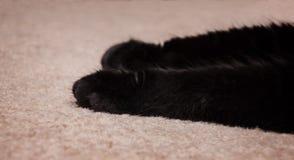 ` S Front Paws del gatto nero su tappeto Immagini Stock Libere da Diritti