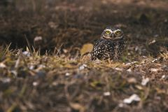 Front view from a burrowing owl in our habbit royalty free stock images