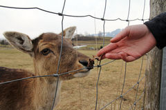 It's fun to feed the deer. It's fun in the spring to feed the deer Stock Images