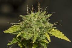 S a G E variété de fleurs de marijuana Photo libre de droits