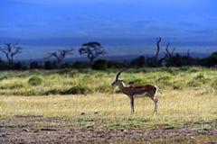 s gazelę subsydium Fotografia Royalty Free
