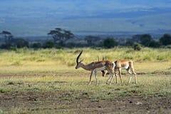 s gazelę subsydium Obrazy Royalty Free