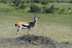s gazelę subsydium Zdjęcie Royalty Free