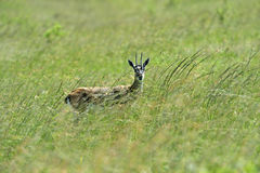s gazelę subsydium Zdjęcia Stock