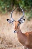 s gazelę subsydium Zdjęcie Stock