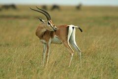 s gazelę subsydium Fotografia Stock