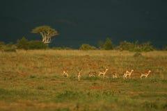 s gazelę subsydium Zdjęcia Royalty Free