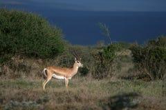 s gazelę subsydium Obrazy Stock