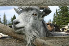 Goat in captivity stock photography