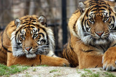 It's Good To Have Friends. Sumatran Tigers in Zoo exhibit Royalty Free Stock Image