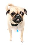 He's Got The Look. Pug staring at camera and making funny face.  Isolated on white Stock Image