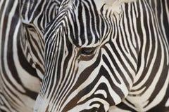 s grevy zebra Obraz Stock