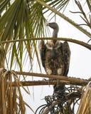 ` S Griffon Vulture de Ruppell en árbol del acacia Foto de archivo libre de regalías