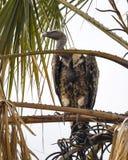 ` S Griffon Vulture de Ruppell que se sienta en árbol del acacia Fotos de archivo libres de regalías