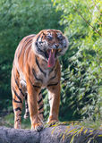 It`s a hard knock life. A yawning sumatran tiger in the Zoo NL Royalty Free Stock Photography