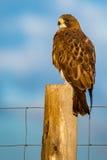 ` S Hawk In Morning Light di Swainson Fotografia Stock