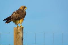 ` S Hawk Perched di Colorado Swainson Fotografie Stock