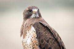 ` S Hawk Portrait de Swainson em um dia nebuloso fotografia de stock royalty free