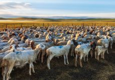 A Flock of Sheep in the Grassland. It`s in Hulunbiur grassland, inner Mongolia, China stock photos