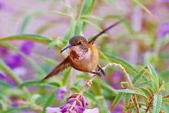` S Hummimhbird de Allen Fotos de Stock