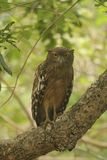 It`s hunting at night,Brown Fish Owl in wipttu n park.a large brown owlwith stubby ear tufts and Yellow Eyes. Solitary or in pairs.nocturnal and territorial stock photo
