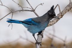 ` S Jay On de Steller une branche d'arbre Photo libre de droits