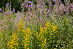 ` S Johannes Würze ist eine gelbe heilende Blume stockfotografie