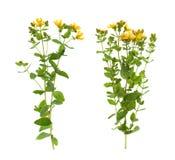 ` S Johannes Würzeanlage mit Blumen auf weißem Hintergrund lizenzfreies stockbild