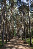 ` S langen Forest Path With Tall Treess und des blauen Himmels lizenzfreies stockfoto