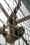 ` S Linnaeus 2-toed didactylus Choloepus лени за смертной казнью через повешение решетки на конструкциях экспоната тропика Америк Стоковые Изображения RF