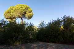 Pine forest of Algaida. It´s located in the Doñana Natural Area within the municipality of Sanlucar de Barrameda, España. Photograph taken on October royalty free stock photos