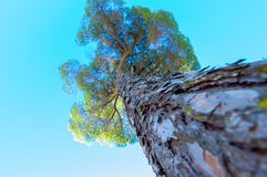 Bottom-up view of a pine tree. It´s located in the Doñana Natural Area within the municipality of Sanlucar de Barrameda, Spain. Photograph taken on October 15 Royalty Free Stock Images